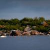 Kyhmyjoutsen- Knölsvan- Mute swan