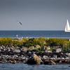 Selkälokkiluoto - Silltrutgrynna - Lesser black-backed gull