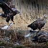 Merikotka nappaa säynävän-Havsörnen fångar en id-White-tailed eagle and ide