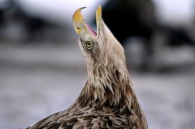 Merikotka   Havsörnen   White-tailed eagle