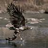 Merikotka pyydystää hauen_ Havsörn fångar en gädda_ White- tailed eagle catching a pike