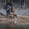 Merikotka ja säynävä-Havsörn och id-White-tailed eagle and ide