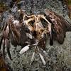 Kuollut merikotka- Död havsörn- Dead white-tailed eagle