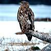 Haukotus- Havsörnen gäspar- White-tailed eagle yawning