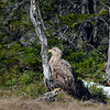 Merikotka- Havsörn- White-tailed eagle