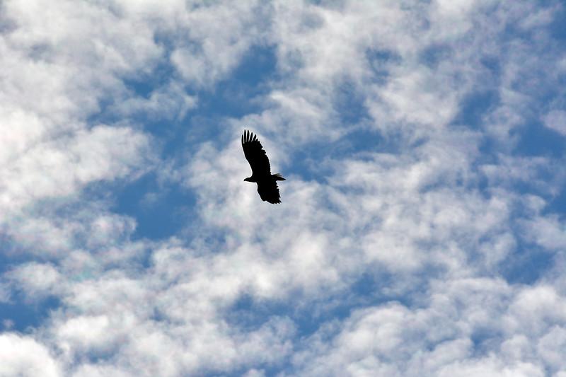 Merikotka- Havsörn- White-tailed eagle