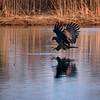 Merikotka kalastaa- Havsörnen fiskar- White-tailed eagle fishing