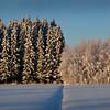 Kuusikko ja koivut-  Granskog och björkar- Spruces and birches