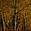 Koivikko- Björkar- Birches