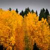 Syyshaapa- Höstasp- Aspen in autumn