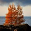 Ruskakoivut- Höstbjörkar- Birches