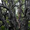 Raita- Sälg- Goat willow