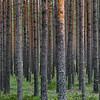Mänty- Tall- Pine