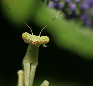 Sad Little Mantis