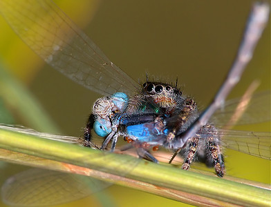 Jumping Spider Eating A Damselfly