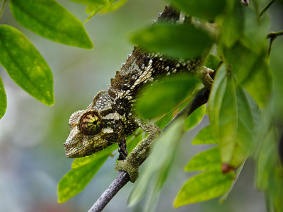 """My Watchful Friend"" Waiting patiently for her treat. Jackson Chameleon, Kona, Big Island Hawaii."