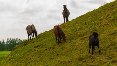 Icelandic Ponies.