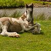 Gypsy Cob Foal