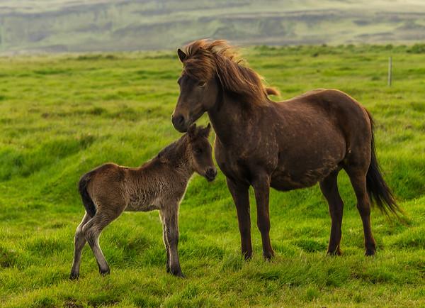 Mum and Foal