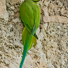 Parakeet on a wall