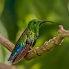 Local Hummingbird