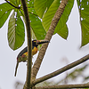 Colour Aracari - Cousin to the Tucan