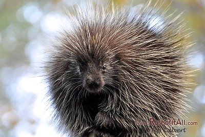 Porcupine, Oct 2011