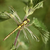 Clubtailed dragonfly