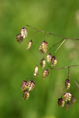 Quaking Grass