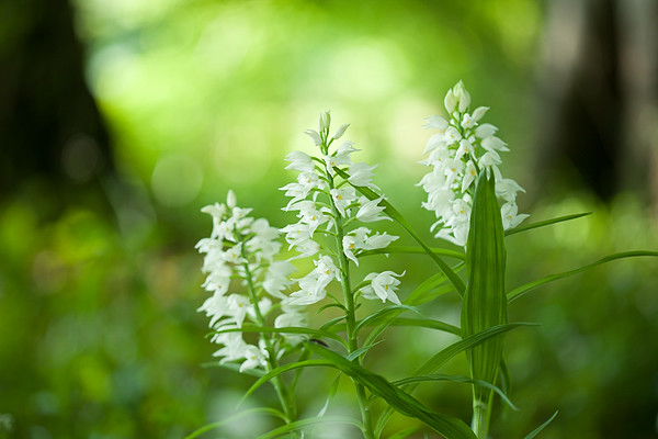 Sword-leaved Helleborine