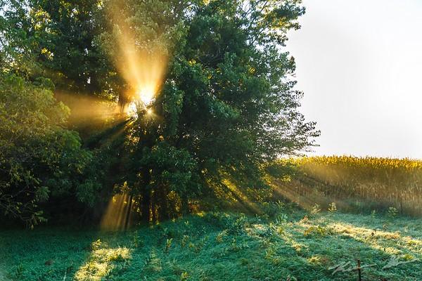 Sun beams through a grove of trees