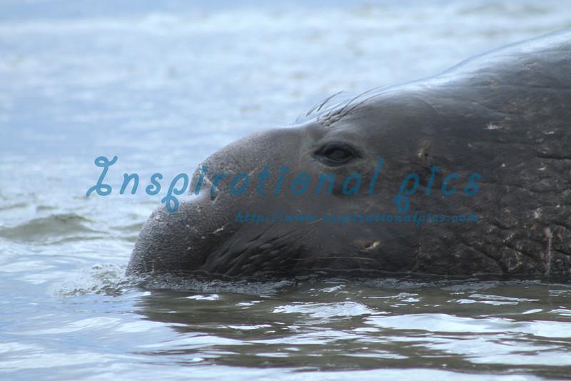 Elephant Seal on the Beach- California Coast