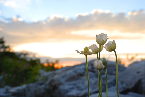 Flowers in the Dolly Sods Wilderness