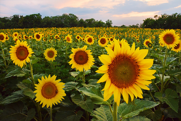 McKee Beshers Sunflower Field