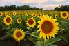 McKee Beshers Sunflower Field