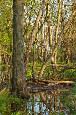 Spring arrives in the swamp surrounding Beaver Creek