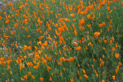 FB-180611-0001 California Poppy