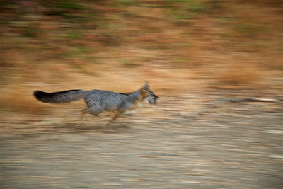 PF-HROS-180728-0002 A Fox Runs Past me with Breakfast in His Jaws