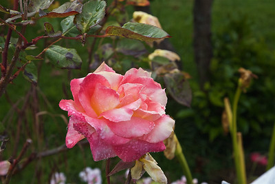 FB-180609-0001 Wet Rose