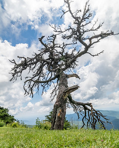 Tree on Blue Ridge Parkway, NC