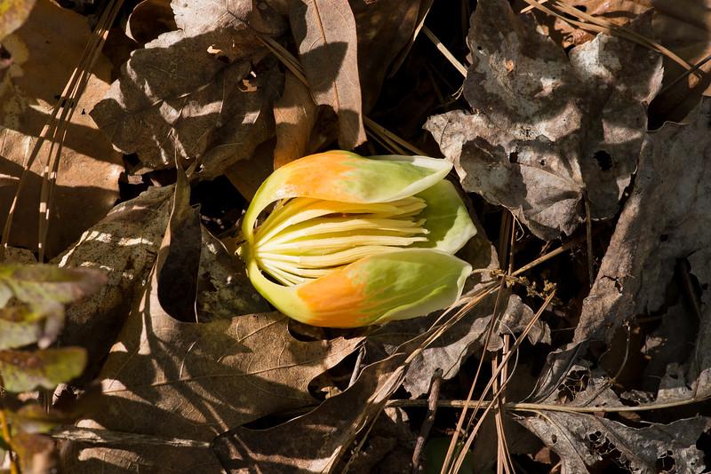 Liriodendron tulipifera, tulip poplar flower