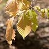 Fagus grandifolia, America beech