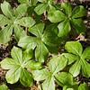 Podophyllum peltatum, mayapple