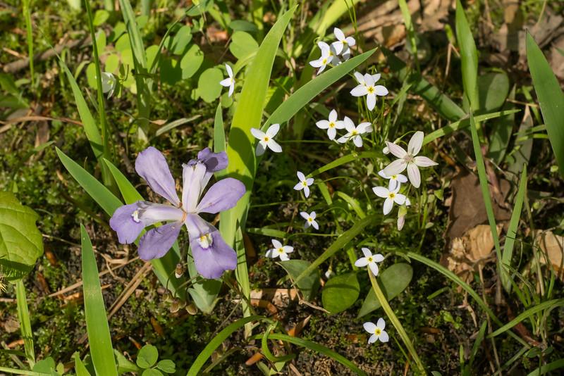 Iris cristata, dwarf crested iris, with Claytonia, spring beauties