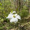 Cornus florida, flowering dogwood