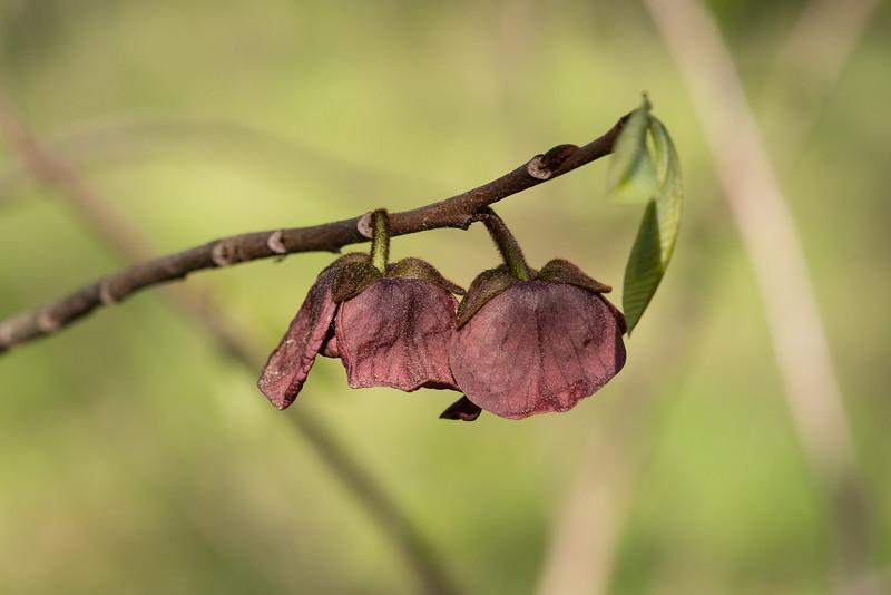 Asimina triloba, paw paw blossom