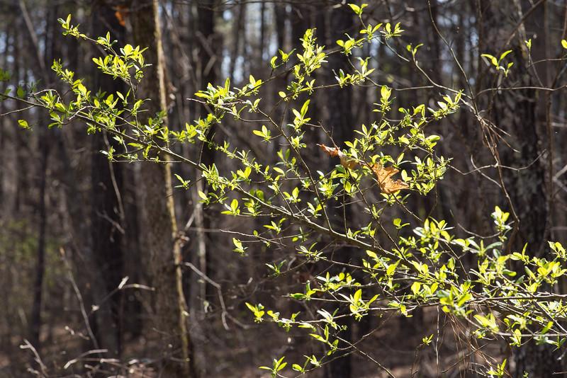 Ilex decidua, possumhaw. newly emerged leaves and flower buds -Peter Schubert