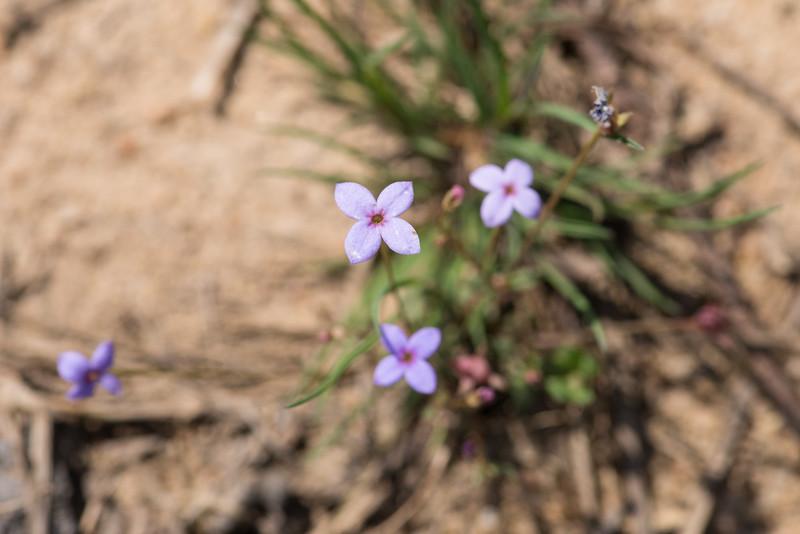 Houstonia caerulea, bluets or Quaker ladies -Peter Schubert