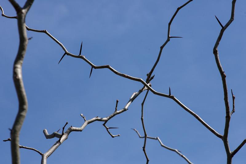 Gleditsia triacanthos, honey locust -Peter Schubert