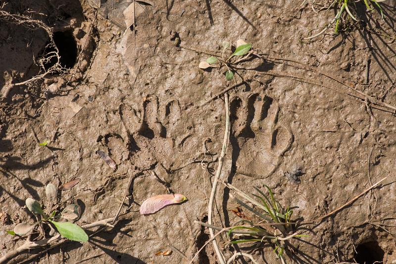 Procyon lotor, raccoon tracks